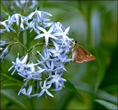 Amsonia tabernaemontana var. salicifolia: Willow-leaf Eastern Bluestar