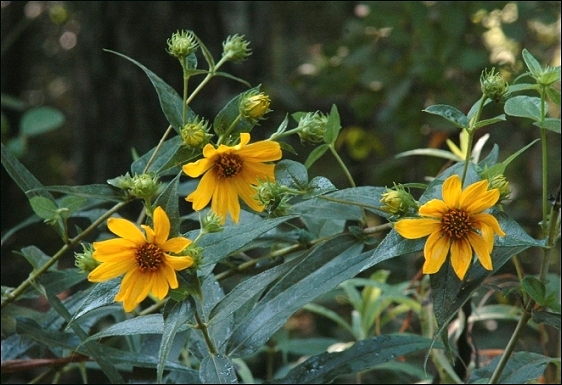 Helianthus hirsutus: Harry Sunflower, Woodland Sunflower