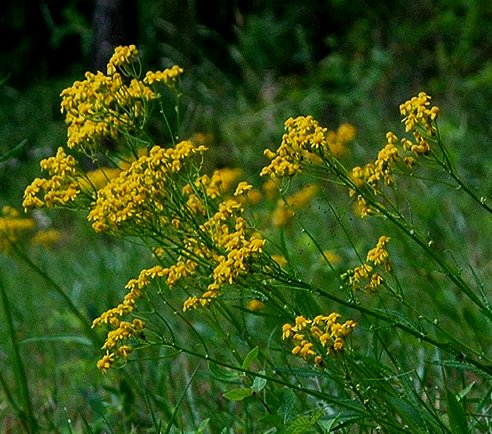 Packera anonyma: Appalacian Ragwort