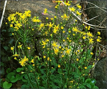 Packera aurea (Senecio aureus) plants