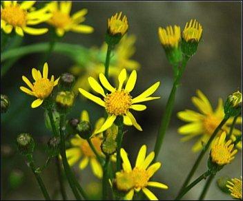 Packera aurea (Senecio aureus) flowers