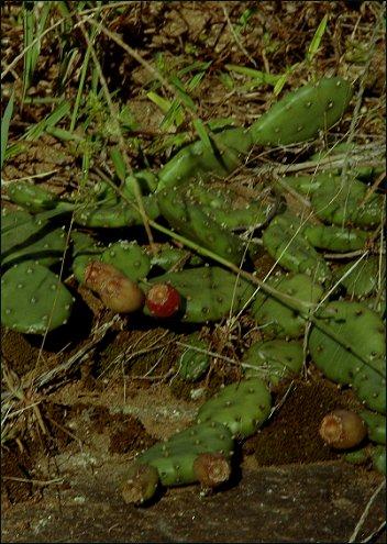 Opuntia humifusa var. humifusa: Eastern Prickly-pear Cactus