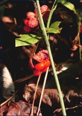 Euonymous americanus: Strawberry Euonymous