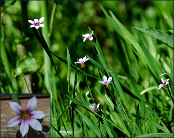Sisyrinchium rosulatum plant