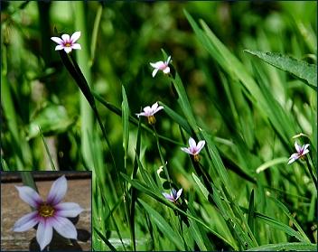Sisyrinchium rosulatum plant
