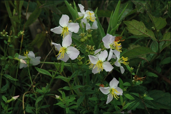 Rhexia mariana var. exalbida: White Maryland Meadow-beauty