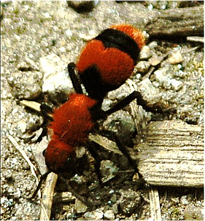 Photos of Cow Ant Bites http://forums.sherdog.com/forums/showthread.php?p=77153621